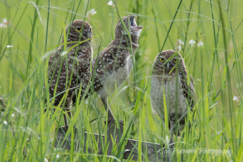 Singing Burrowing Owlet and Friends