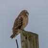 short eared owl            511a
