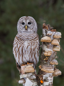 Barred Owl on Bracket Fungi Birch