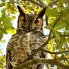 Great Horned Ow in Central Florida yard