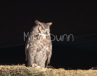Great Horned Owl-20