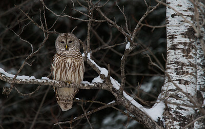 Barred Owl in Poplar at Twilight