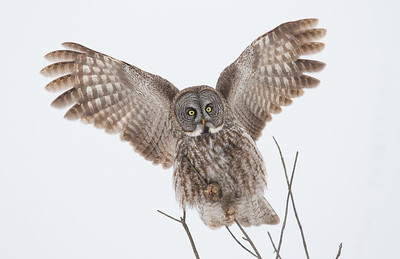 Great Gray Owl Using Wings to Balance