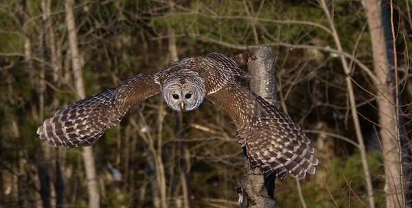 Barred Owl Take-Off