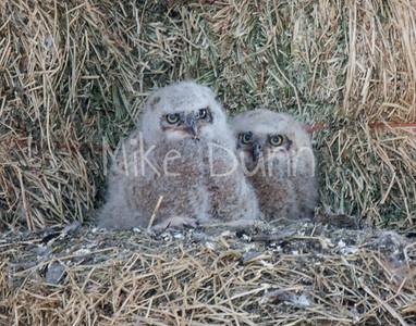Great-Horned Owlet-17