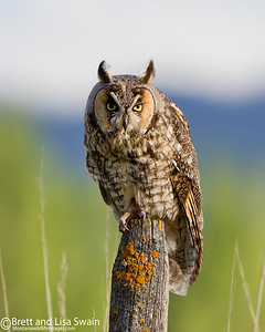 Long-eared Owl on Fence Post