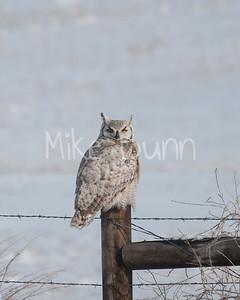 Great-Horned Owl-7