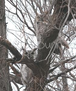 Great-Horned-Owl-17