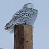 snowy owl   sm     42