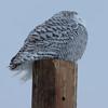 snowy owl   sm     31