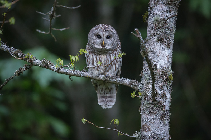 My Daughter Spotted This Barred Owl.