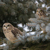 short earred owl                        9011 - Copy
