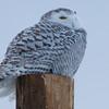 snowy owl   sm     45