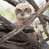 Great Horned Owlet has just left the nest
