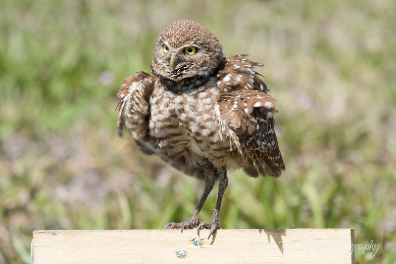 Fluffy Burrowing Owl
