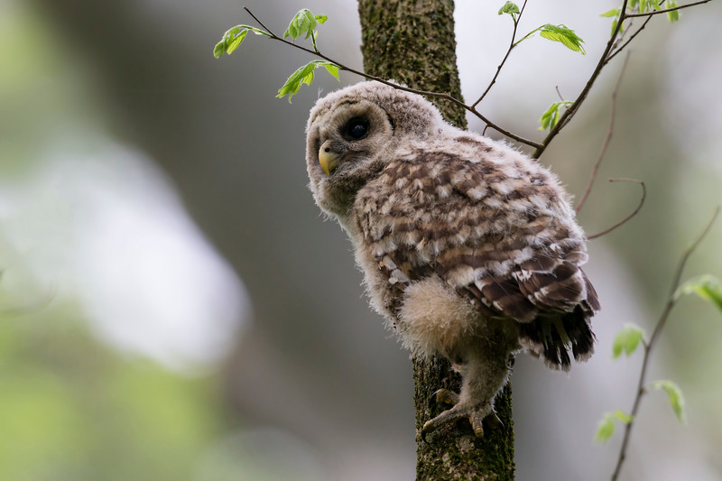 A juvinile Barred owl climbing a tree branch