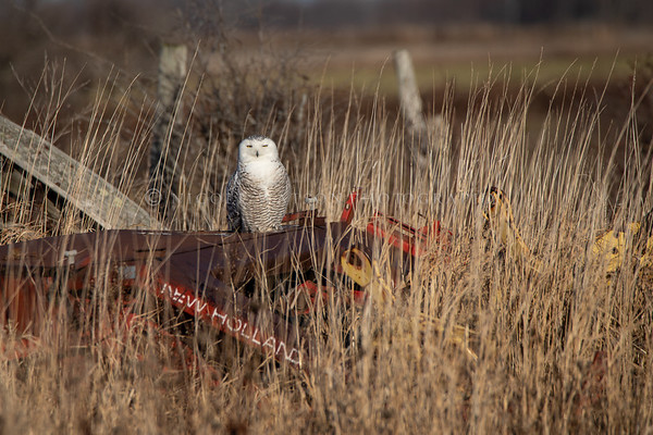 Snowy Owl resting on a farming implement