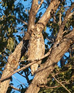 Great-Horned Owl-8