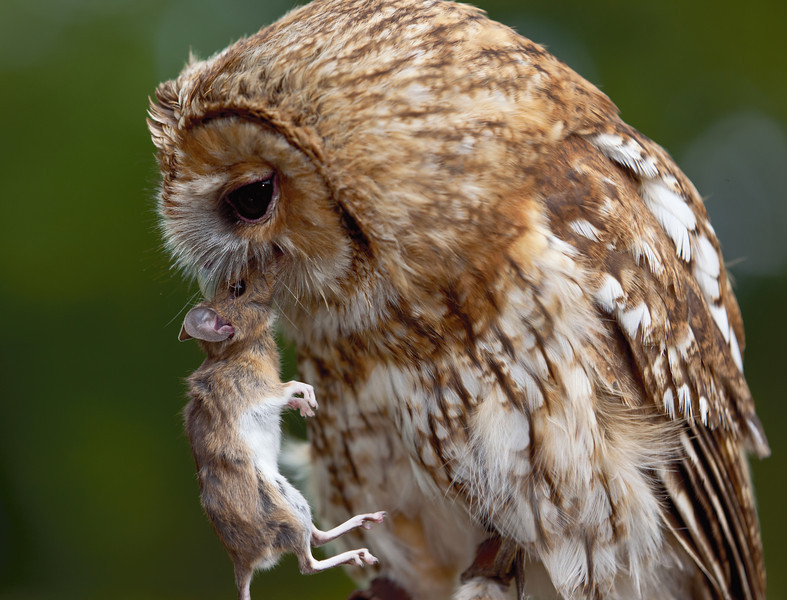Tawny Owl with a mouse