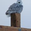snowy owl     sm   54