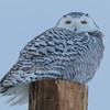snowy owl   sm     38