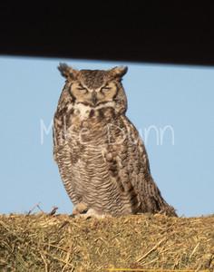 Great Horned Owl-21