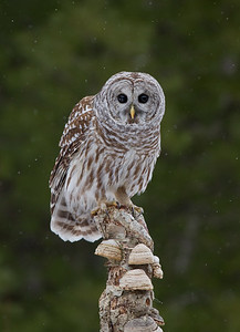 Barred Owl in Gently Falling Snow