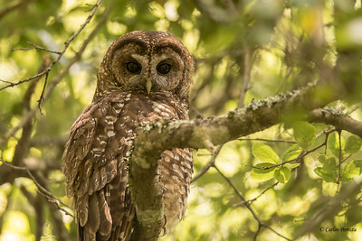 Northern Spotted Owl, PRNS.