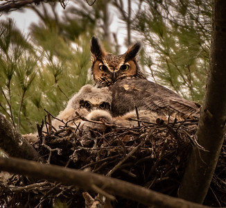 Great Horned Owl and her/his owlet