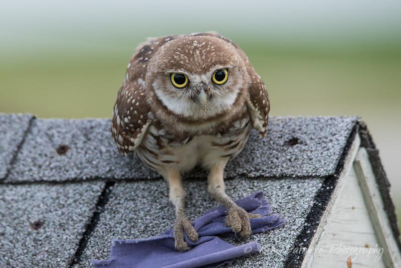 Burrowing Owlet Resting!