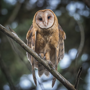 Barn Owl at Point Reyes National Seashore