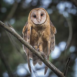Barn Owl at Point Reyes National Seashore