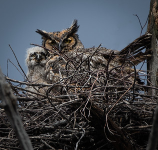 Great Horned Owlet & Mama