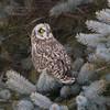 short earred owl                        9511