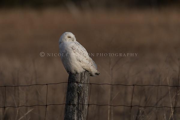 Snowy Owl  (male)