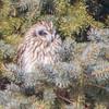 short earwed owl   sm     21