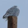 snowy owl   sm     30