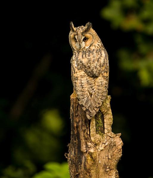 Long-eared owl (Asio otus, previously Strix otus)