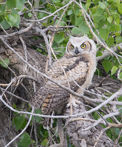 Great-Horned Owlet-6