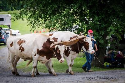 Gene working his Oxen team