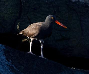 Black Oysercatcher Hybird   Dana Point 2014 01 11-1577.CR2