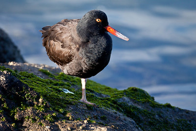 Black Oystercatcher  California Central Coast 2011 09 21-1.CR2