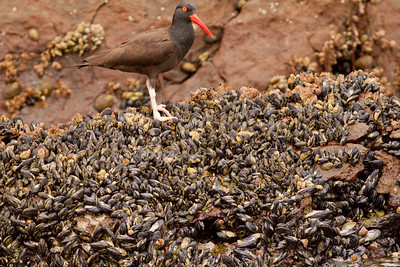 Black Oystercatcher  Los Coronados 2012 06 16-2.CR2