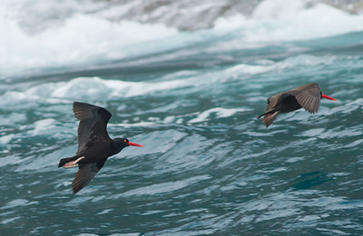 Black Oystercatcher Los Coronados Mexico 2012 06 03 (1 of 6).CR2