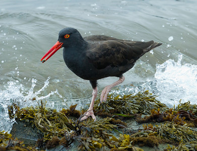 Black Oystercatcher  California Central Coast 2011 09 21-2.CR2