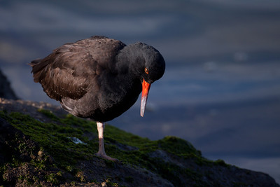 Black Oystercatcher 01/06/10 Long Beach California