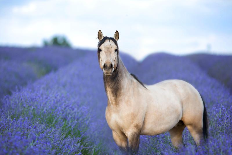 Orofino ~ Andalusian Stallion