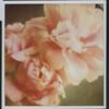 2011_June_Peonies_003