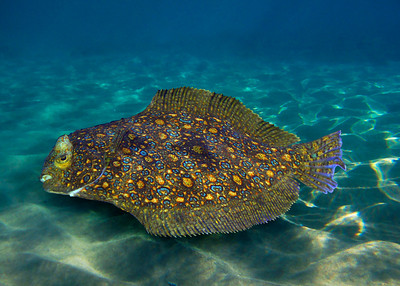 PEACOCK FLOUNDER - HAWAIIAN ISLANDS