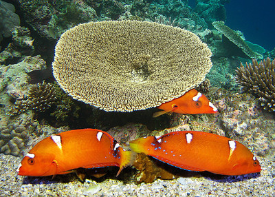 YELLOWTAILED CORIS - HAWAIIAN ISLANDS